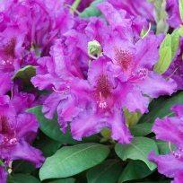 Rhododendron Azurro