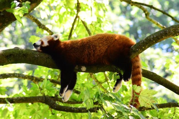 red-panda-3507877_1920