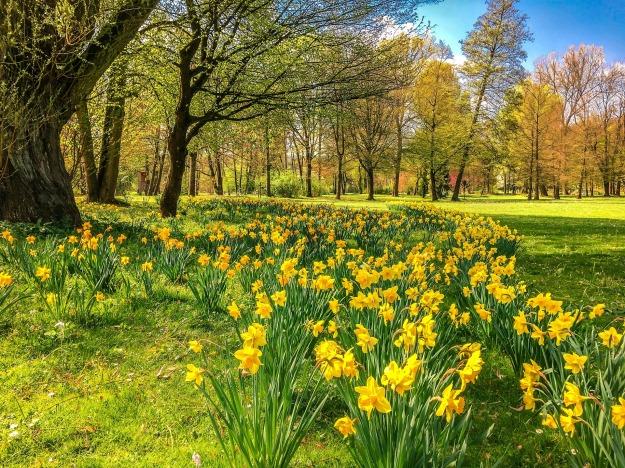 daffodils-2231083_1920